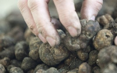 Italian Truffle: a gold mine