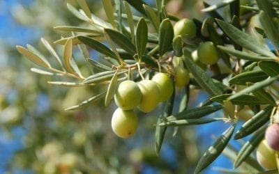 Olive leaves: properties and benefits