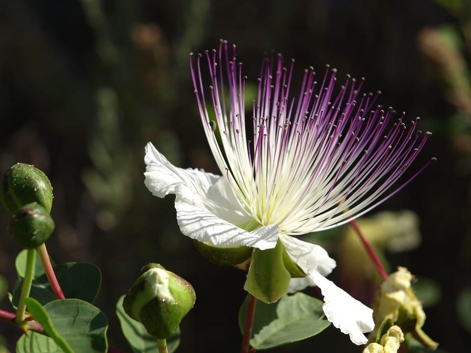cappero flower